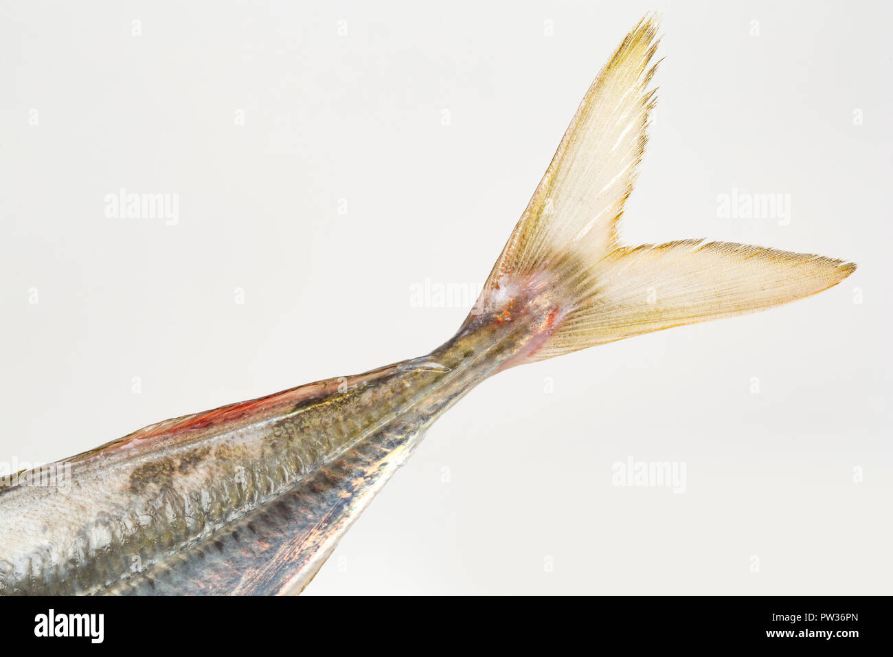Detail of the tail, or caudal fin, of a scad, also known as horse mackerel, Trachurus trachurus, caught on rod and line boat fishing in the English Ch - Stock Image
