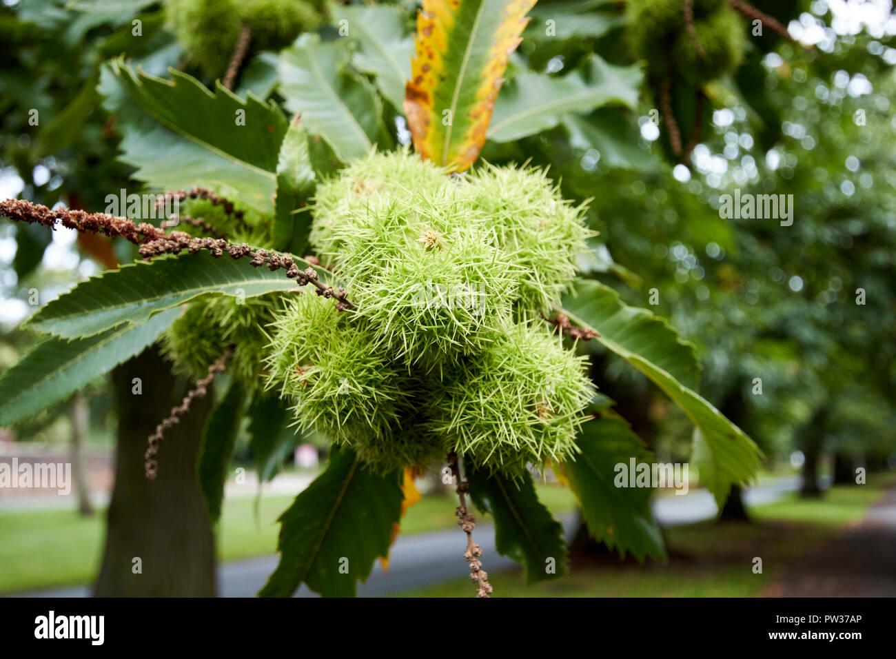 sweet chestnut tree with nutshells and leaves Liverpool Merseyside England UK Stock Photo