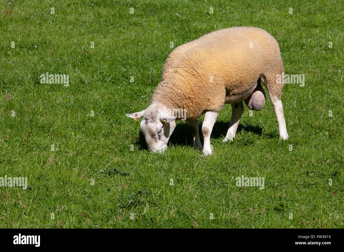 Testicles Stock Photos Amp Testicles Stock Images Alamy