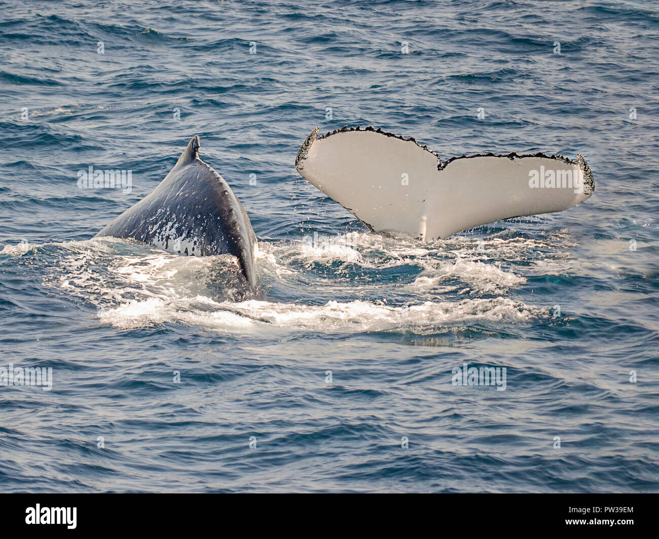 couple of whales swimming off shore Sydney in Australia, one is showing a tale during the diving, due balene nuotano al largo di Sydney in Australia - Stock Image