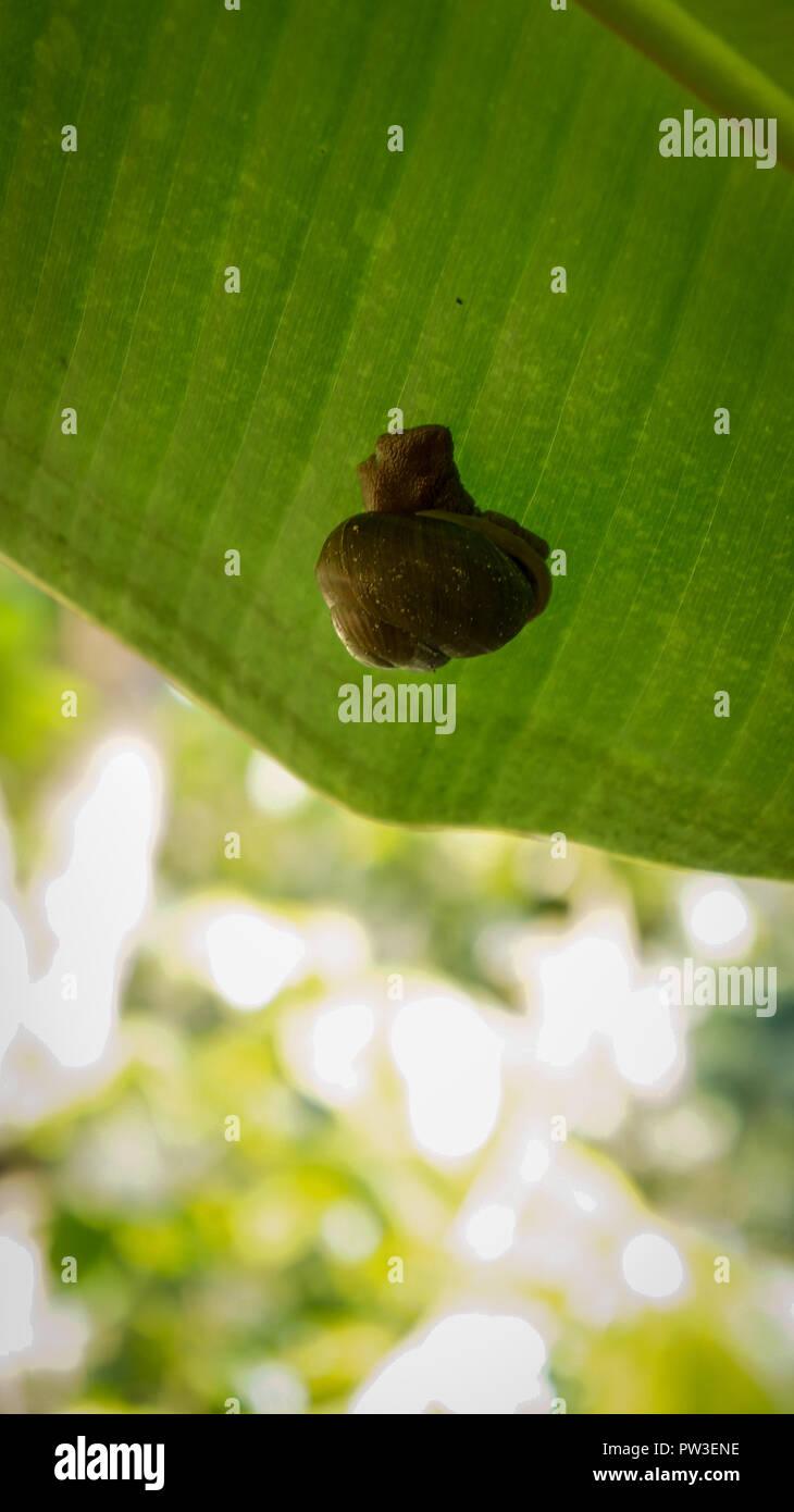 Slug snail stuck on the leaf of a banana tree Stock Photo