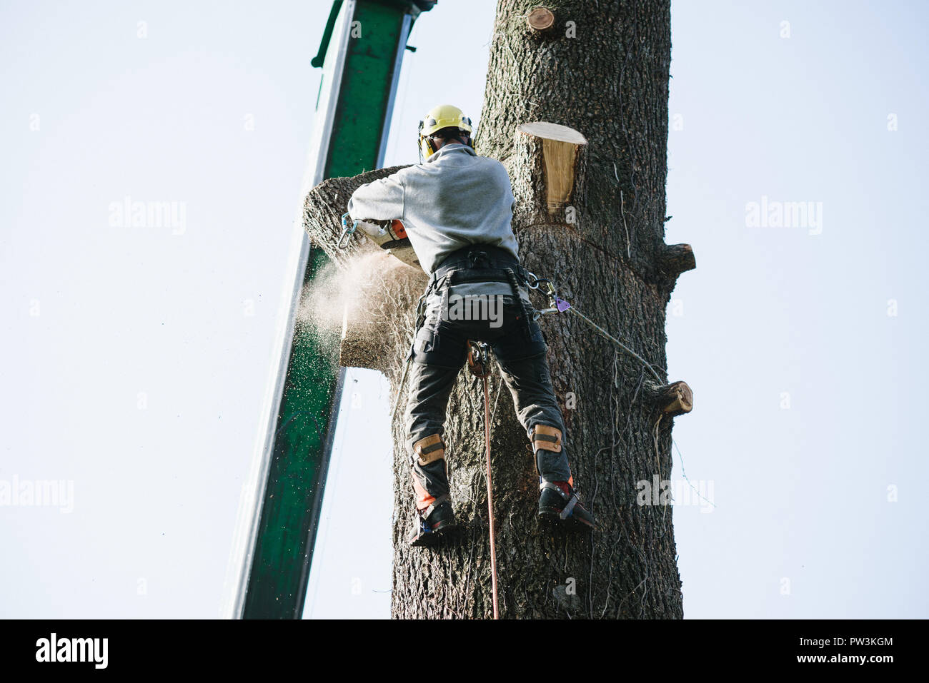 treeclimber tree cutter with chainsaw climbed on top Stock Photo