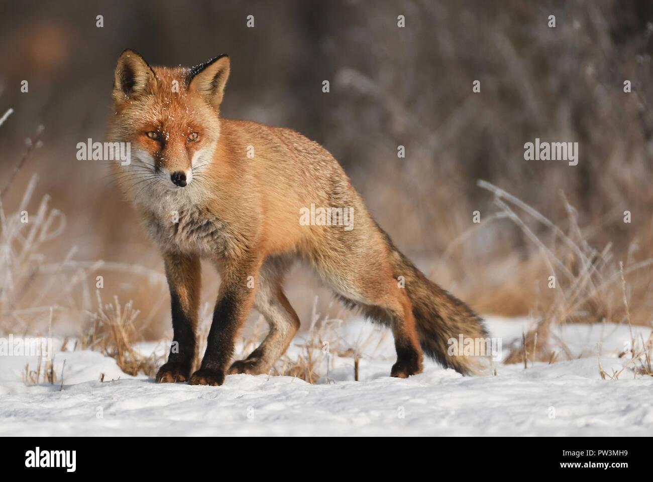 ox in natural habitat - Stock Image
