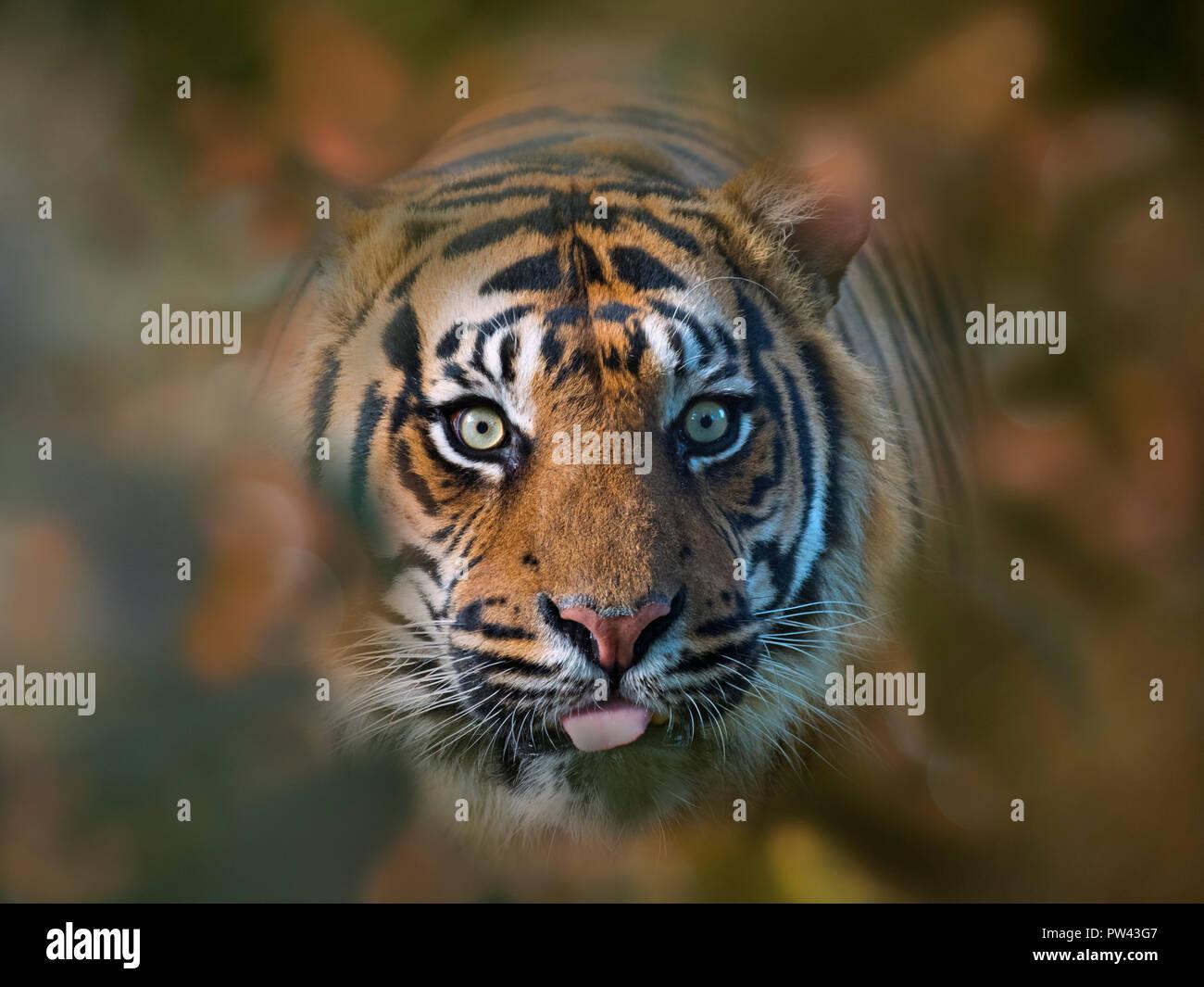 Sumatran tiger Panthera tigris sondaica CAPTIVE Stock Photo