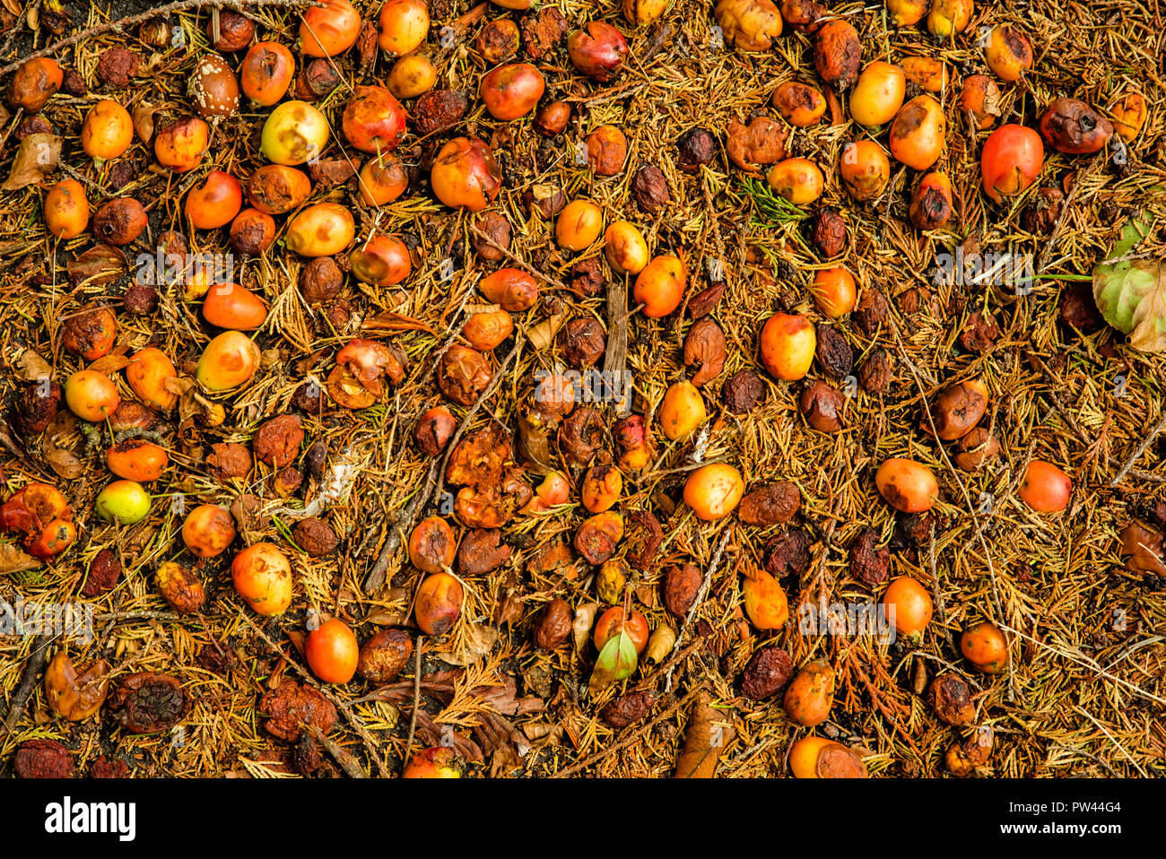 Fallen crabapples mix with dead pine needles on an urban sidewalk in Southampton, England. They herald the onset of Fall and the start of the regenera - Stock Image