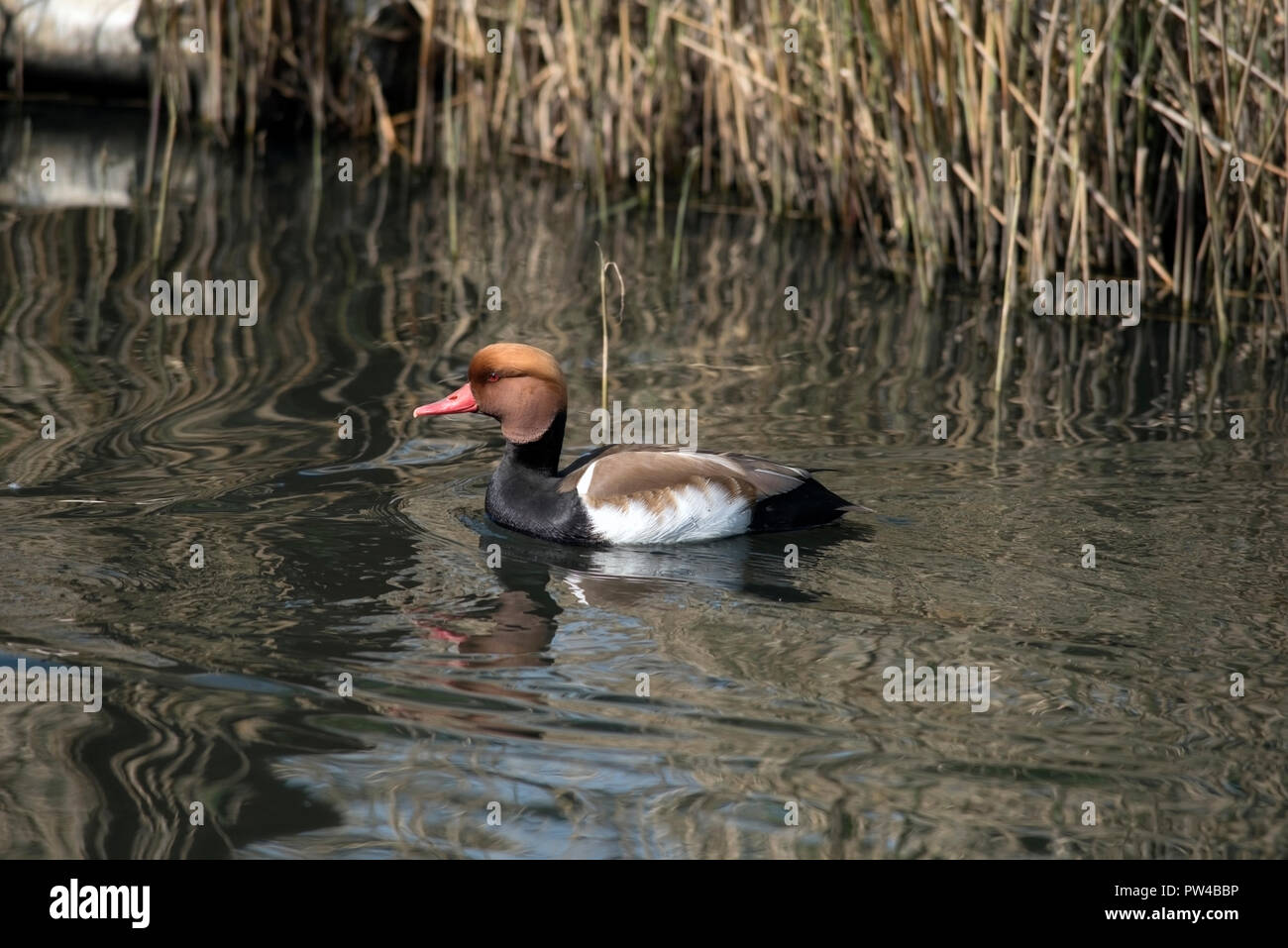 Portrait of left facing male Red Crested Pochard, Netta Rufina, swimming near reeds. - Stock Image