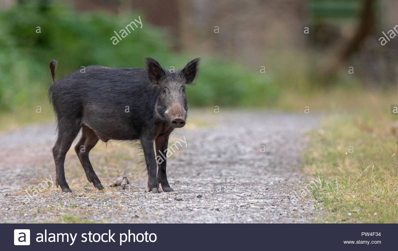 Wild Boar busy themselves in the beautiful Royal Forest of Dean - Stock Image