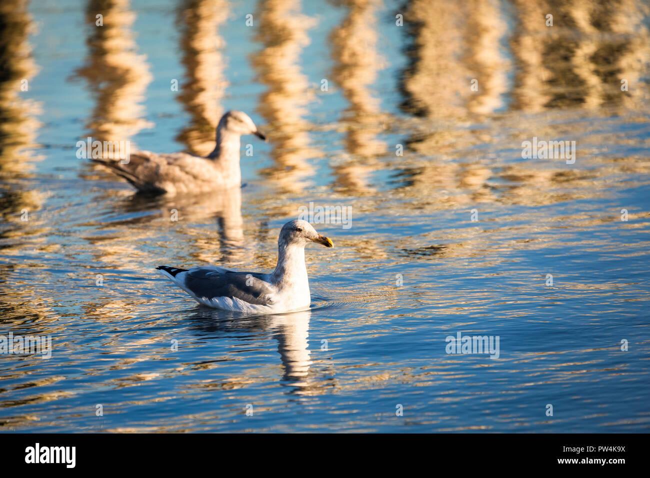 Seagulls swim near the pier outside of Garibaldi, Oregon, USA. - Stock Image