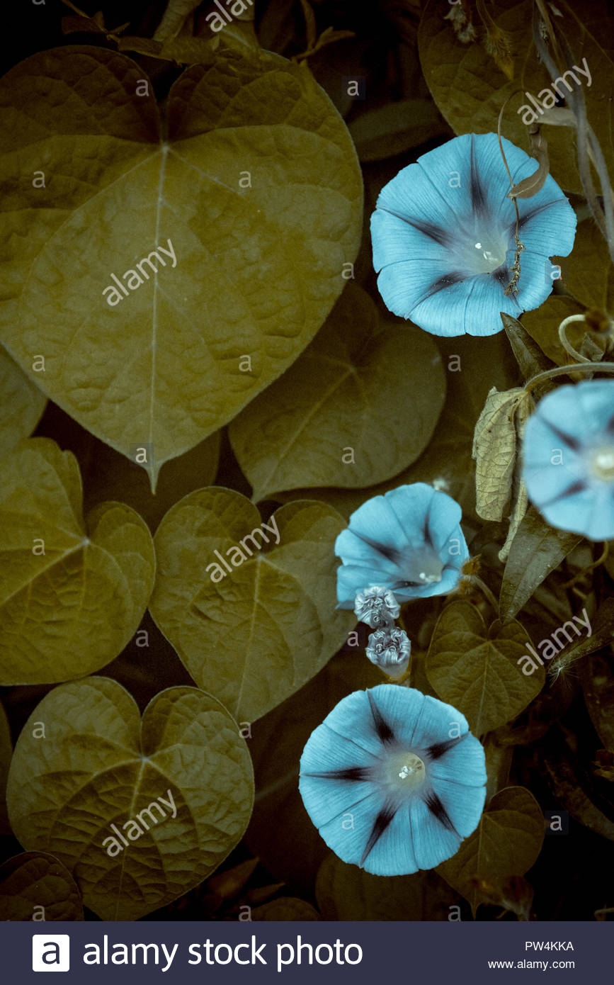 High angle view of blue morning glories blooming amidst plants in forest - Stock Image
