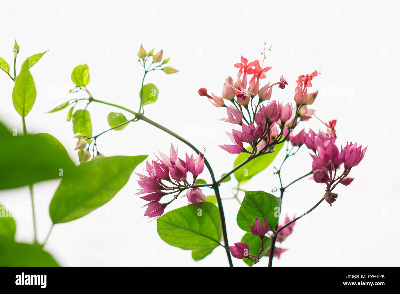 Close-up of bougainvillea blooming on plant stems against white background - Stock Image