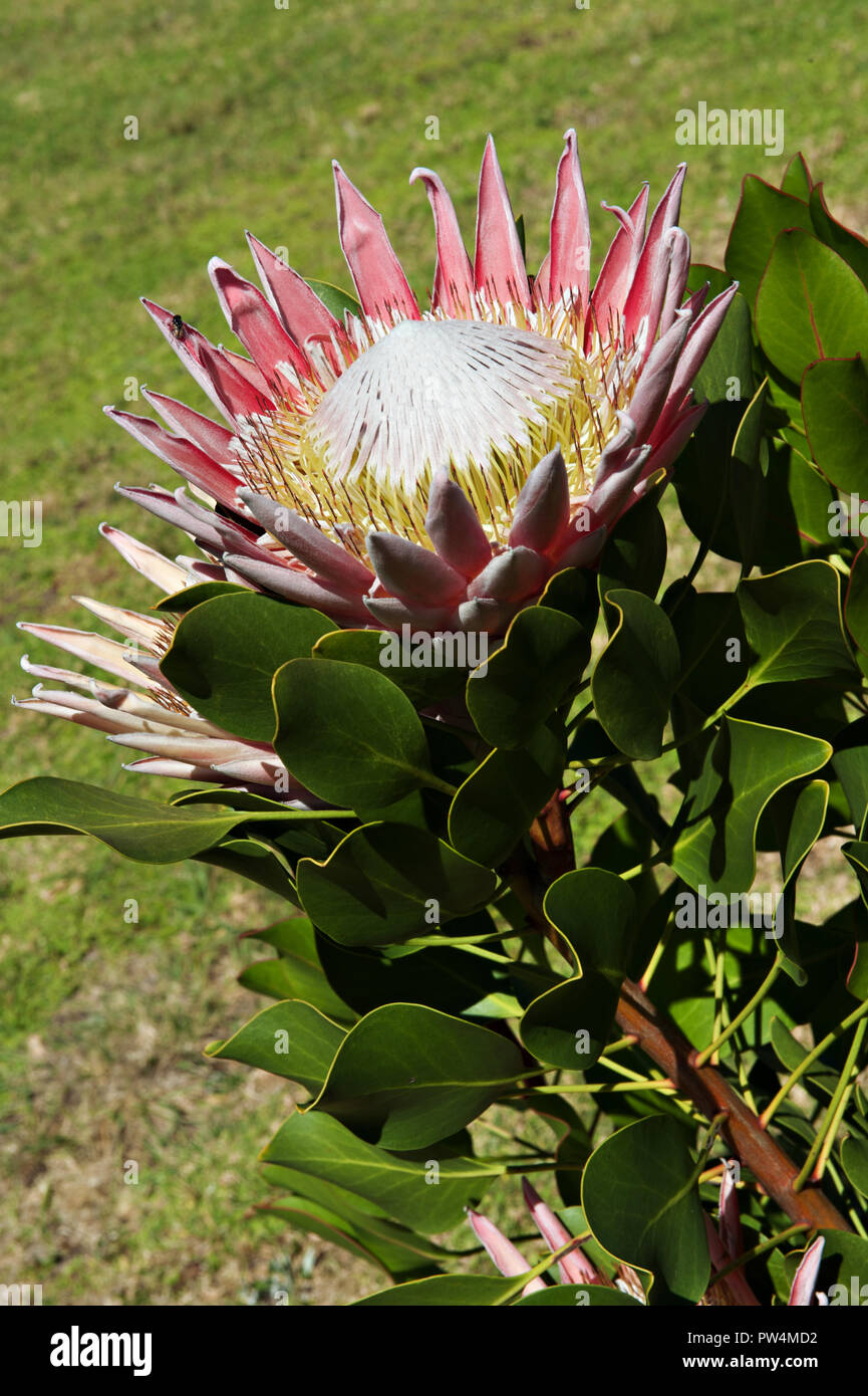 south african national flower stock photos south african national