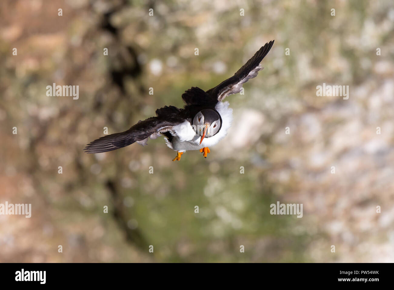 Landscape, aerial close up of one wild adult puffin (Fratercula arctica) flying in the breeze, against soft-focus cliffs, approaching head-on flight. - Stock Image