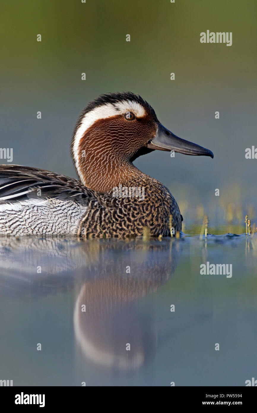 Garganey (Spatula querquedula) male swimming in lake in spring - Stock Image