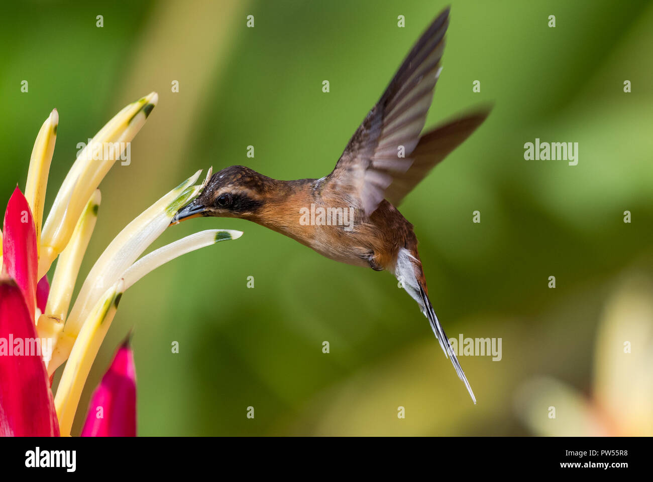 Little Hermit Hummingbird feeding on a Heliconia. - Stock Image