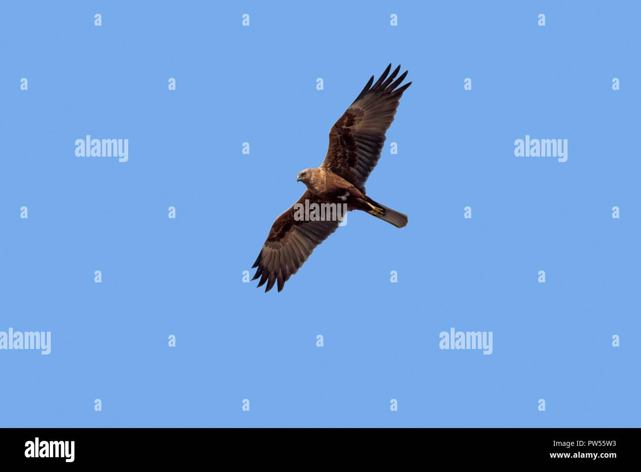 Western marsh harrier / Eurasian marsh harrier (Circus aeruginosus) female in flight against blue sky Stock Photo