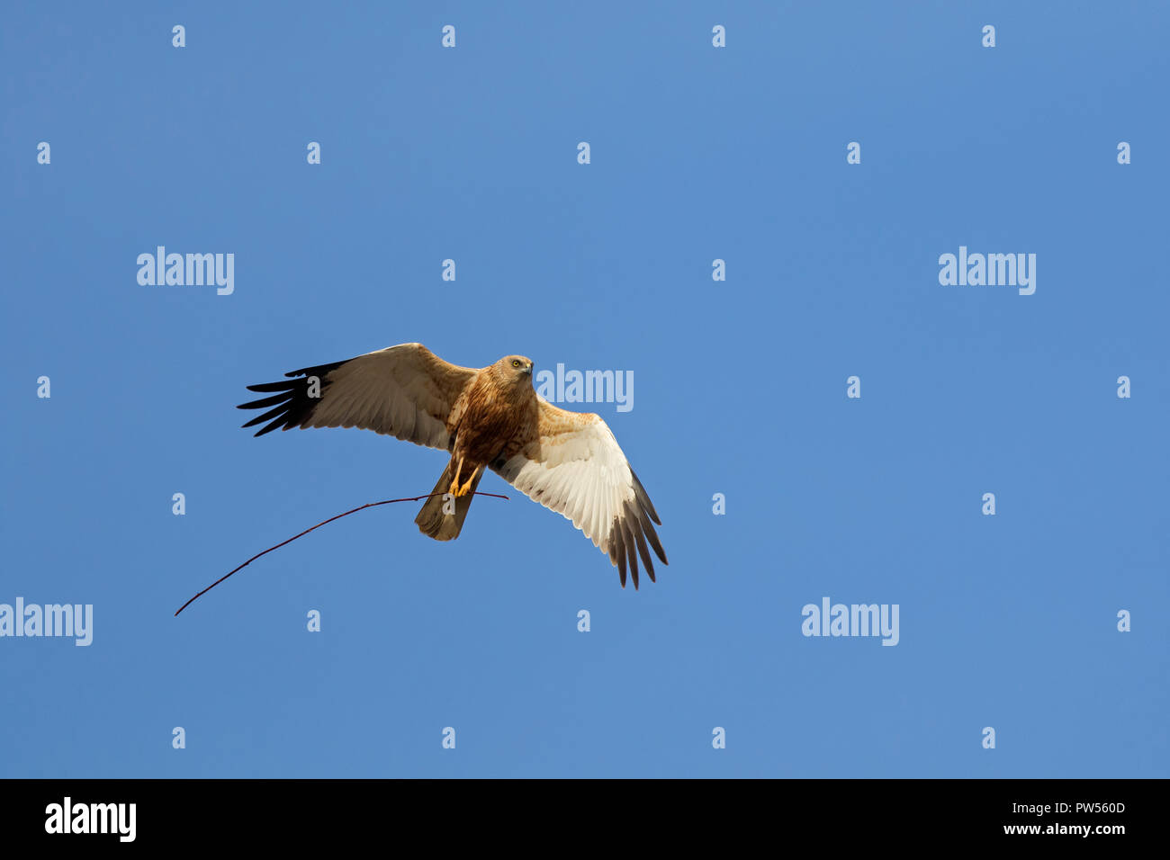 Western marsh harrier / Eurasian marsh harrier (Circus aeruginosus) male in flight with twig in talons for building nest in spring - Stock Image