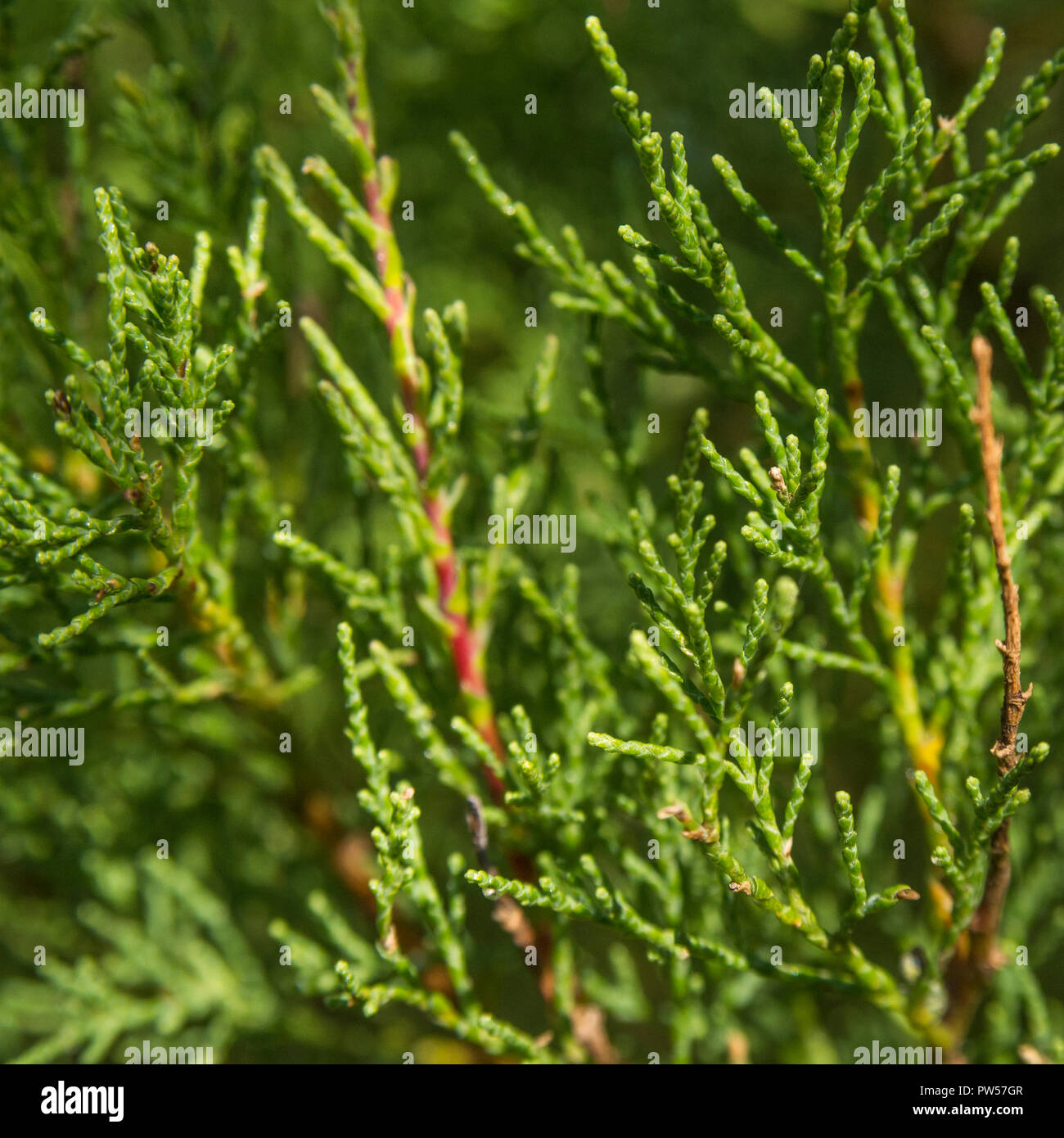Tamarisk (almost certainly  Tamarix gallica) shrub growing in Newquay, Cornwall. Parts of Tamarisk used in herbal medicine. - Stock Image
