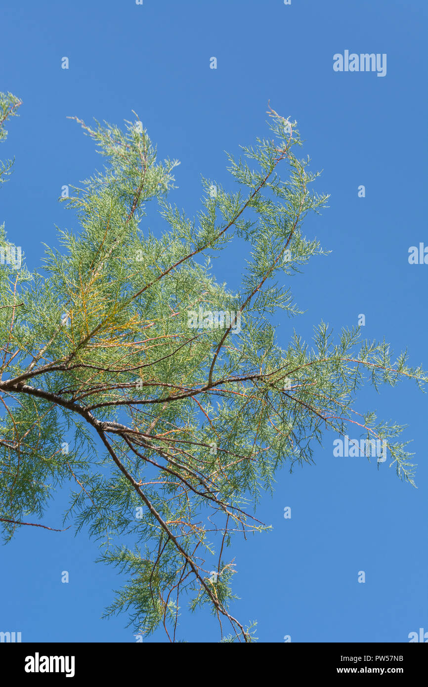 Tamarisk (almost certainly  Tamarix gallica) shrub growing in Newquay, Cornwall. - Stock Image