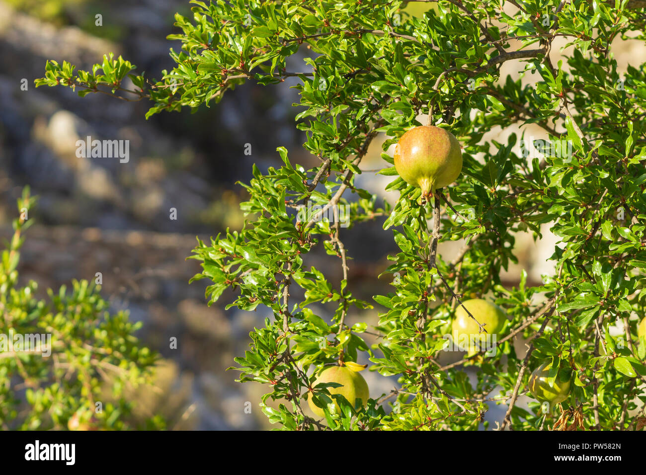 Punica granatum, Pomegranate fruit ripening in the sun, August, Spain - Stock Image