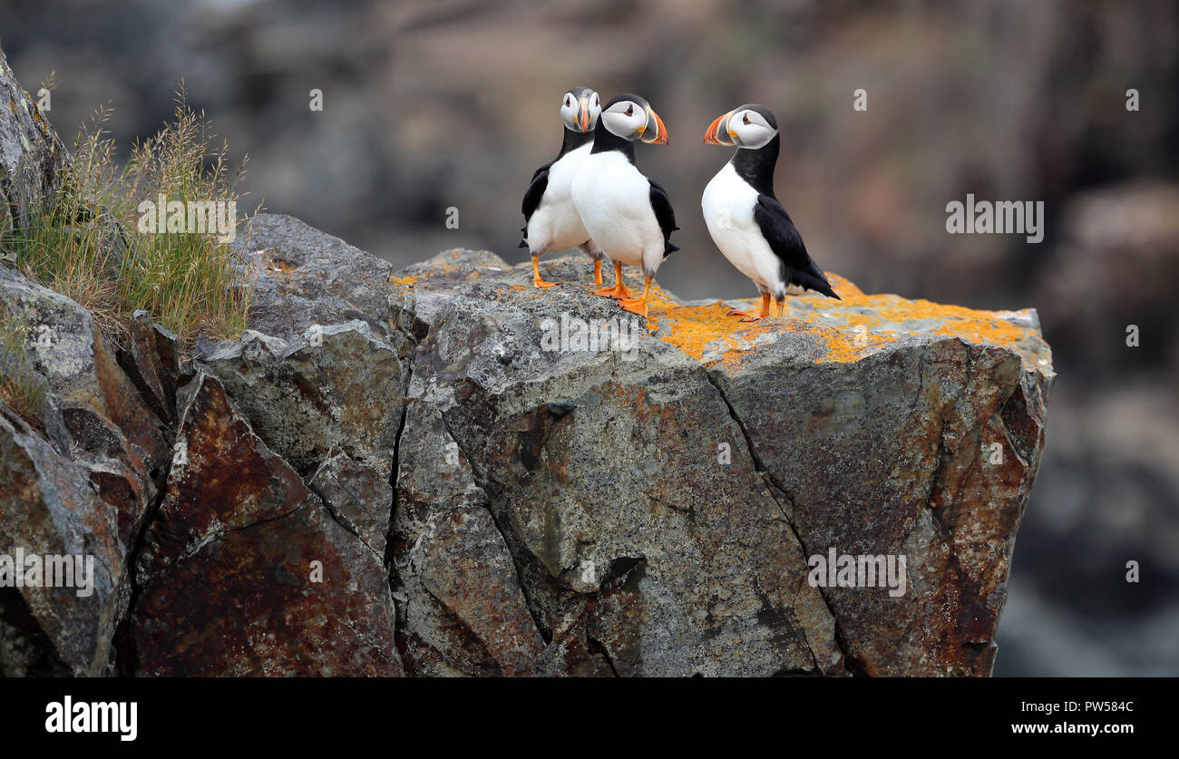 black and white puffins on rocks with orange lichen - Stock Image