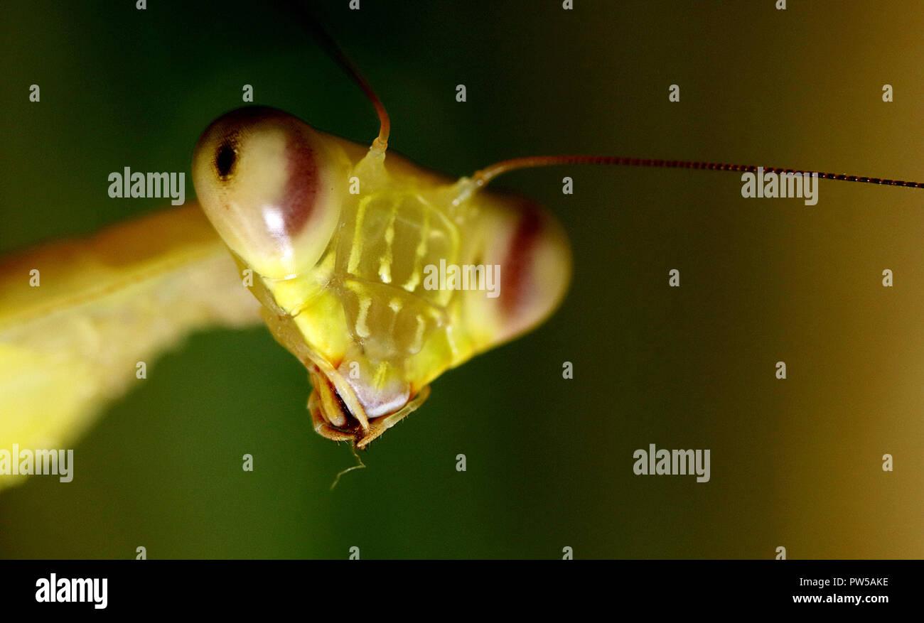 Praying mantis Hierodula venosa giant asian mantis - Stock Image