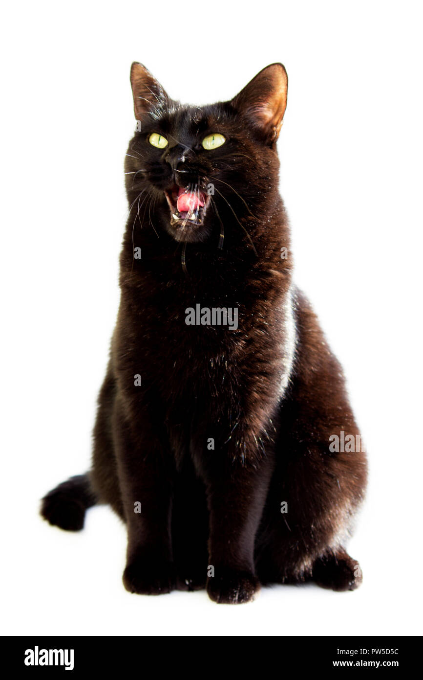 black seated sideways yawning cat with open mouth on a white background. - Stock Image