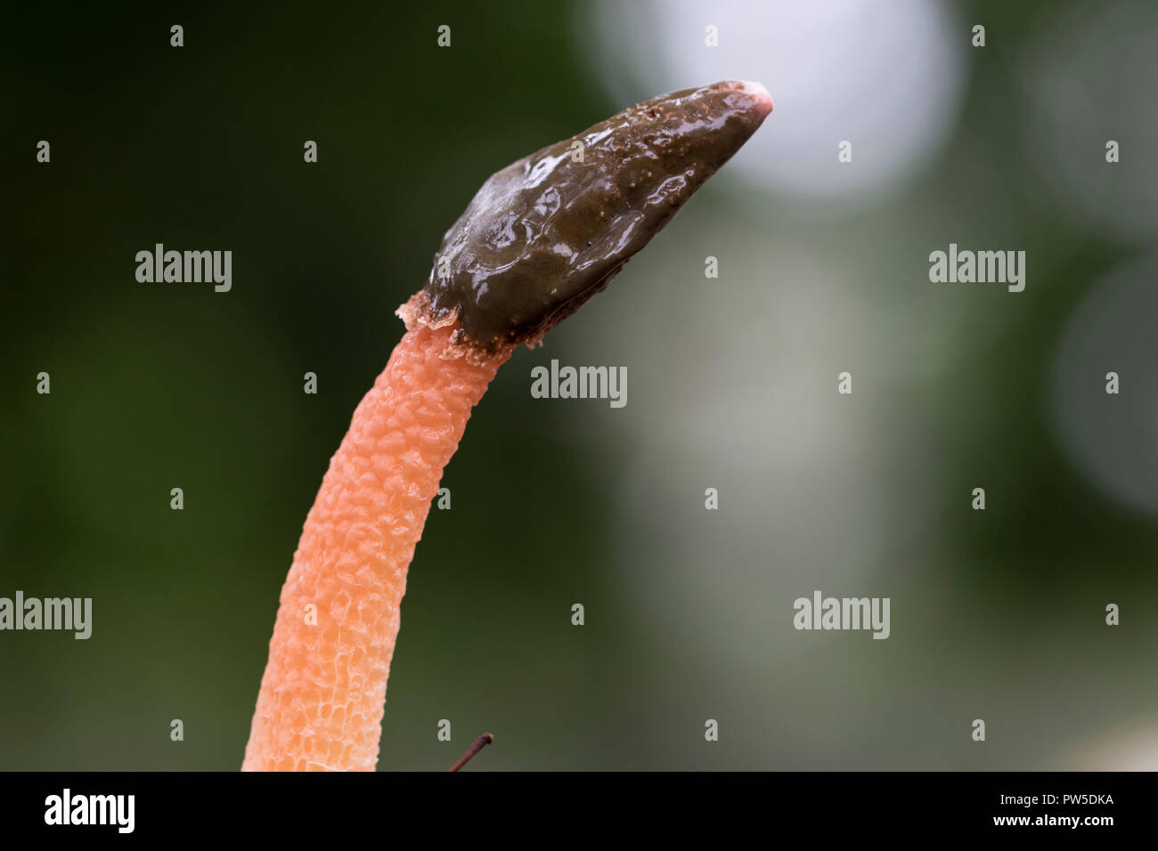 Stinkhorn mushroom close up. Foul-smelling Phallales mushroom sprouting from the ground. Macro view of mushrooms. - Stock Image