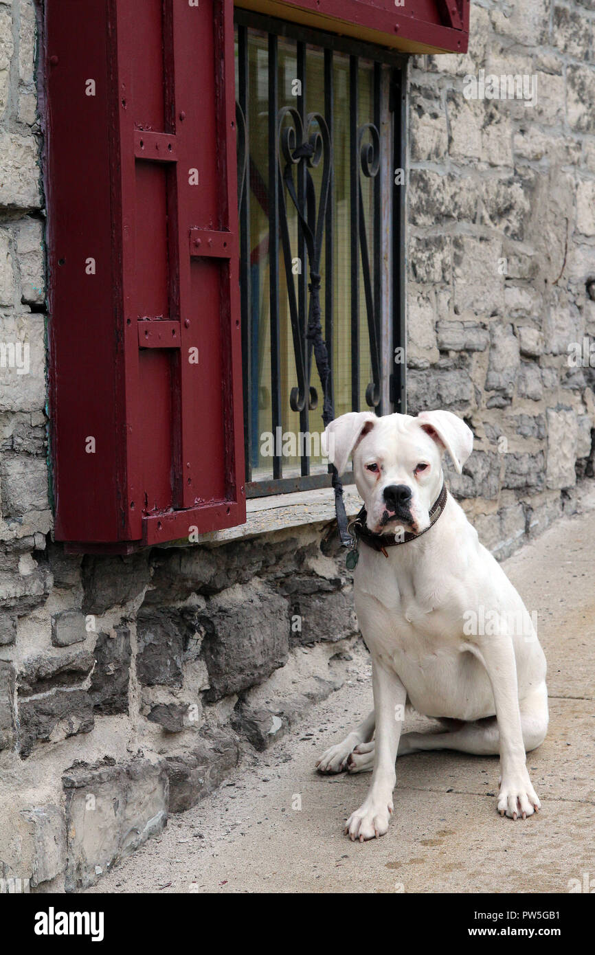 White pit bull mix dog is seated on sidewalk awaiting its