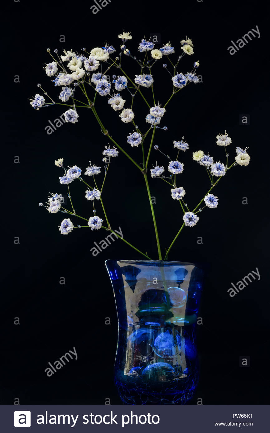 Small baby's breath flower sprig in a blue vase with black background Stock Photo