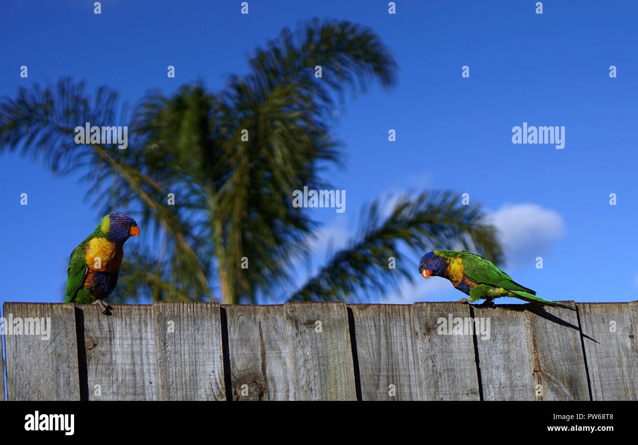 Two colorful parrots with palm tree and blue sky background - Stock Image
