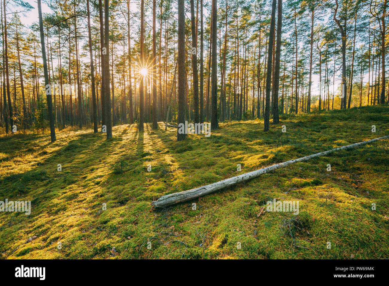Belarus. Beautiful Sunset Sunrise Sun Sunshine In Sunny Summer Coniferous Forest. Sunlight Sunrays Shine Through Woods In Forest Landscape. Stock Photo