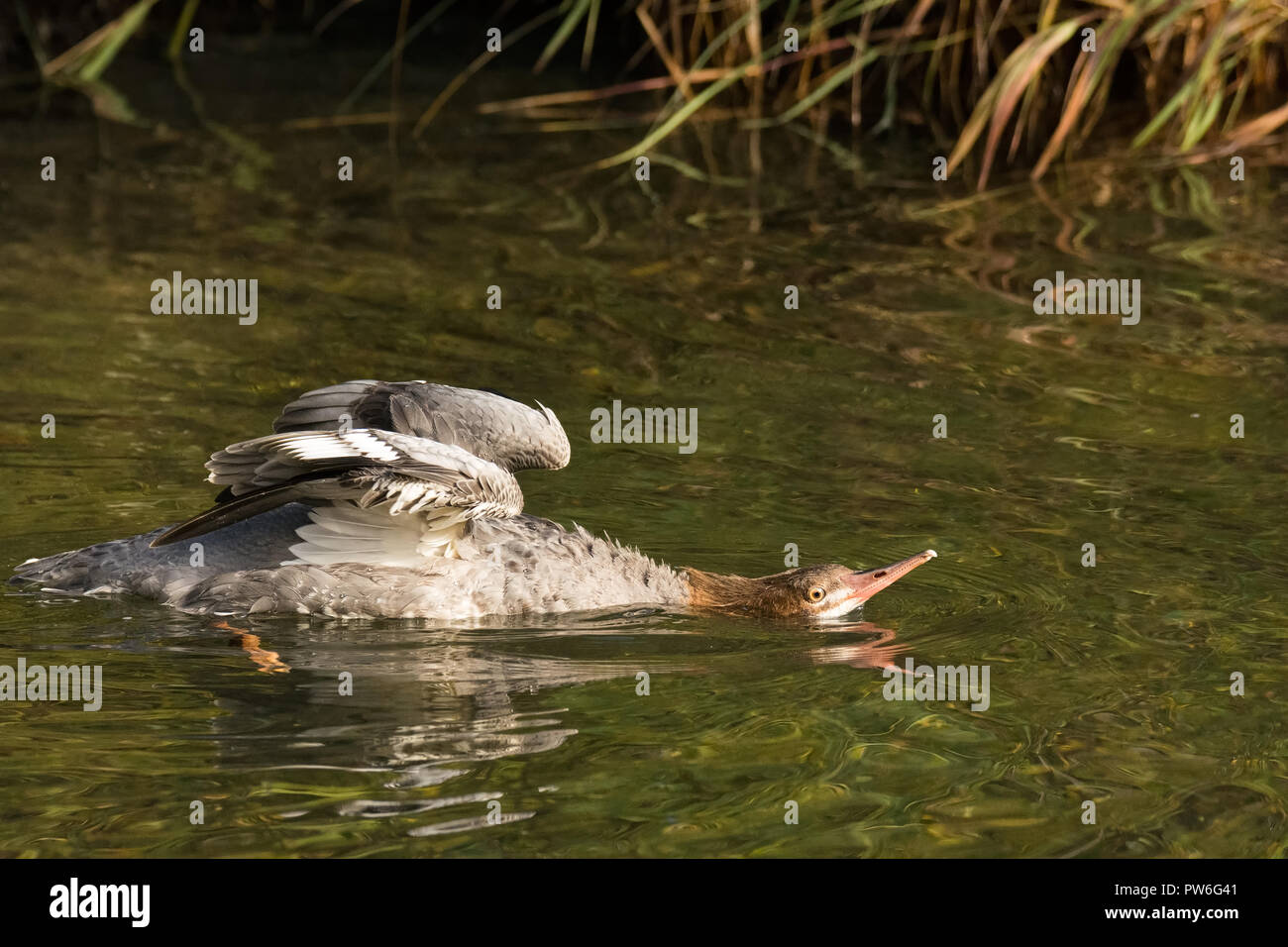Female merganser stretches out her neck across smooth reflecting water - Stock Image