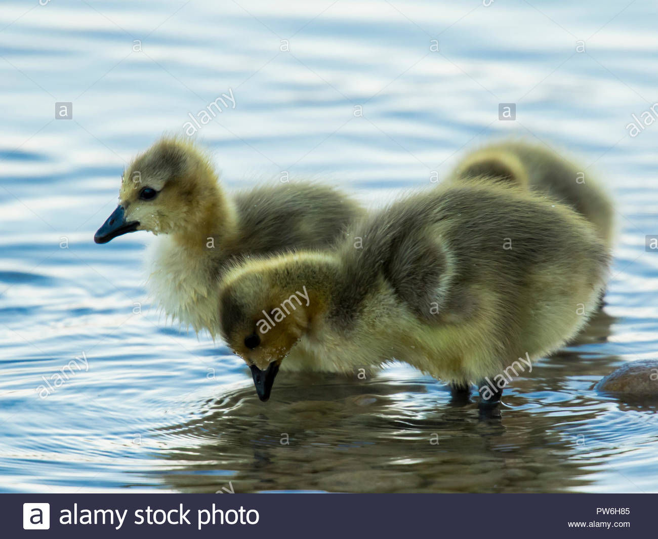 These cute fuzzy goslings were tentatively exploring a local lake in Scottsdale, Arizona - Stock Image