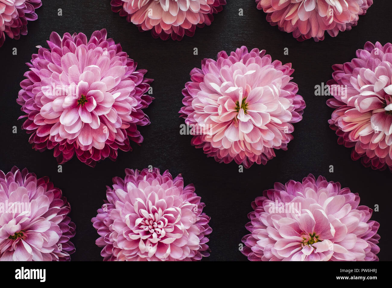 Pink Mums Spaced on Black Table - Stock Image