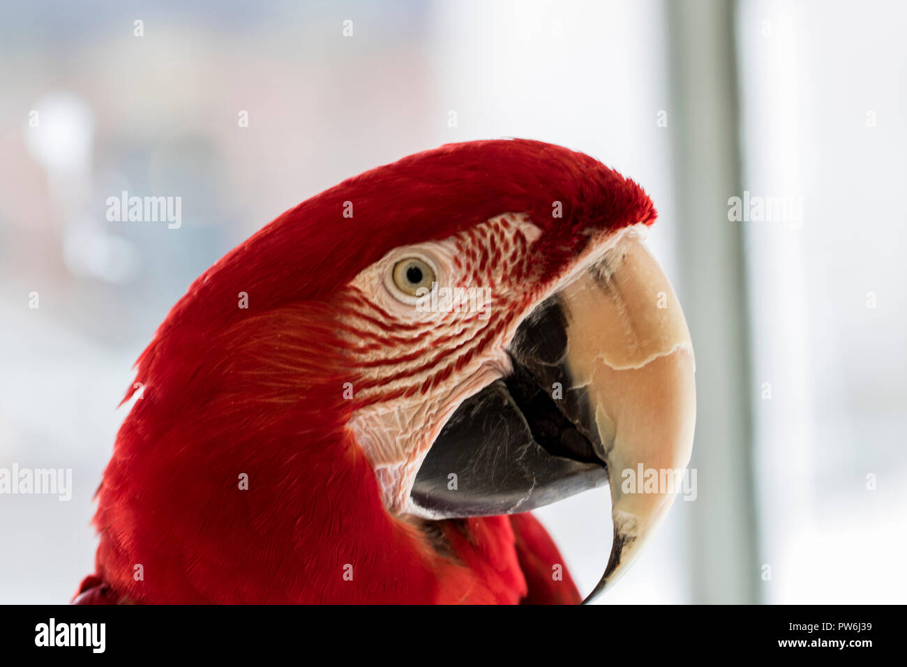 Red Parrot With Large Beak Close Up Portrait Of A Pet Parrot Eye Red Feathers And Big Beak Domesticated Macaw Stock Photo Alamy