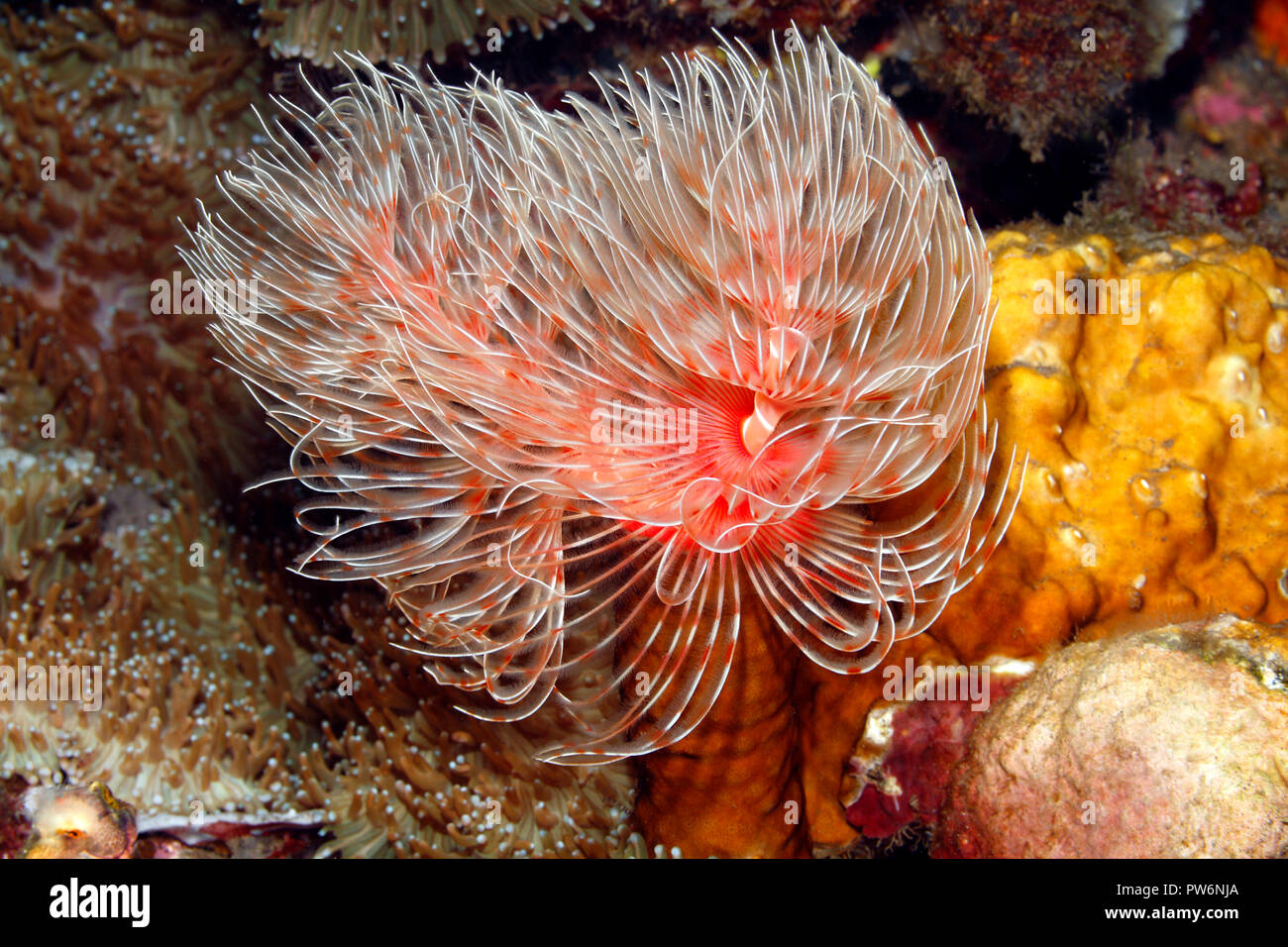 Magnificent Tube Worm, Protula bispiralis, previously Protula magnifica.Tulamben, Bali, Indonesia. Bali Sea, Indian Ocean Stock Photo