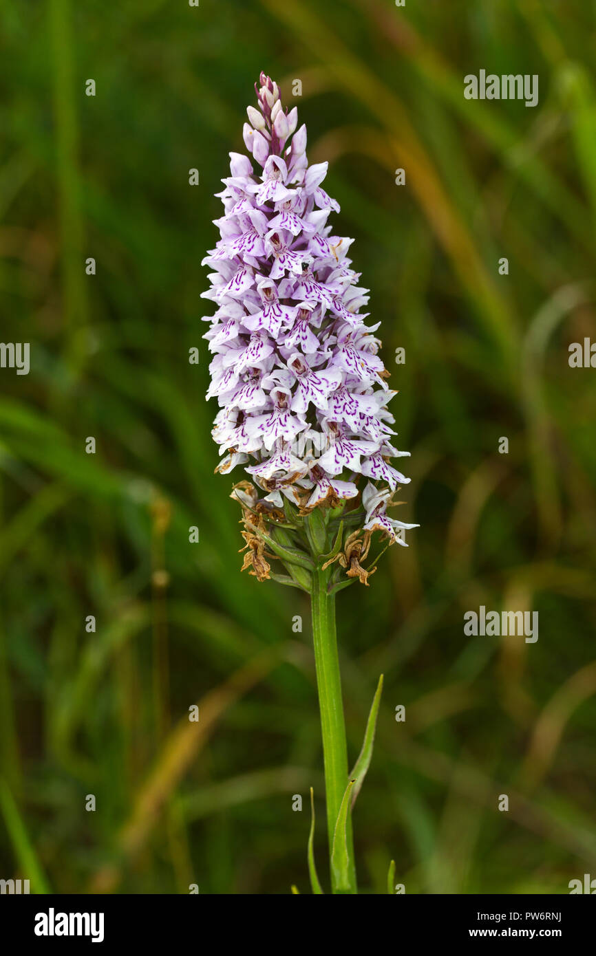 The Early Marsh Orchid has five main sub-species that are specific to different regions of the UK, in North England spp. incarnata dominates. - Stock Image