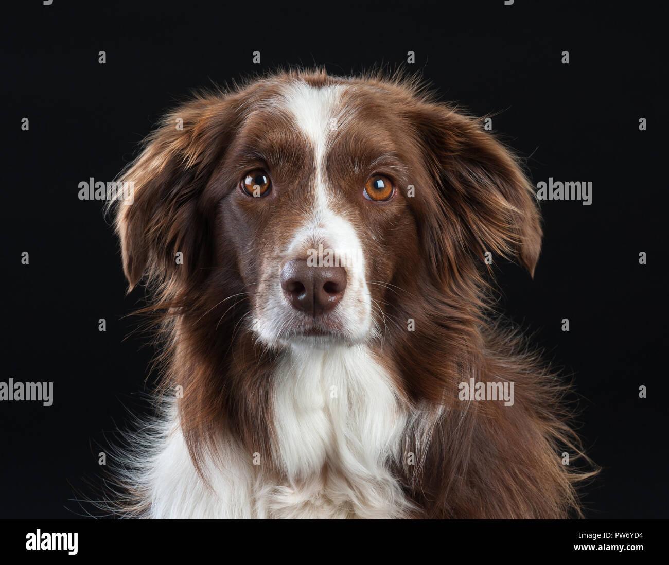 Cross Breed Studio Portrait of Dog with Black Background - Stock Image