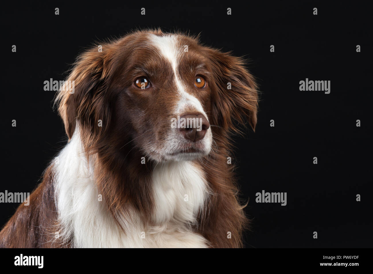 Cross Breed Studio Portrait of Dog with Black Background - Stock Image