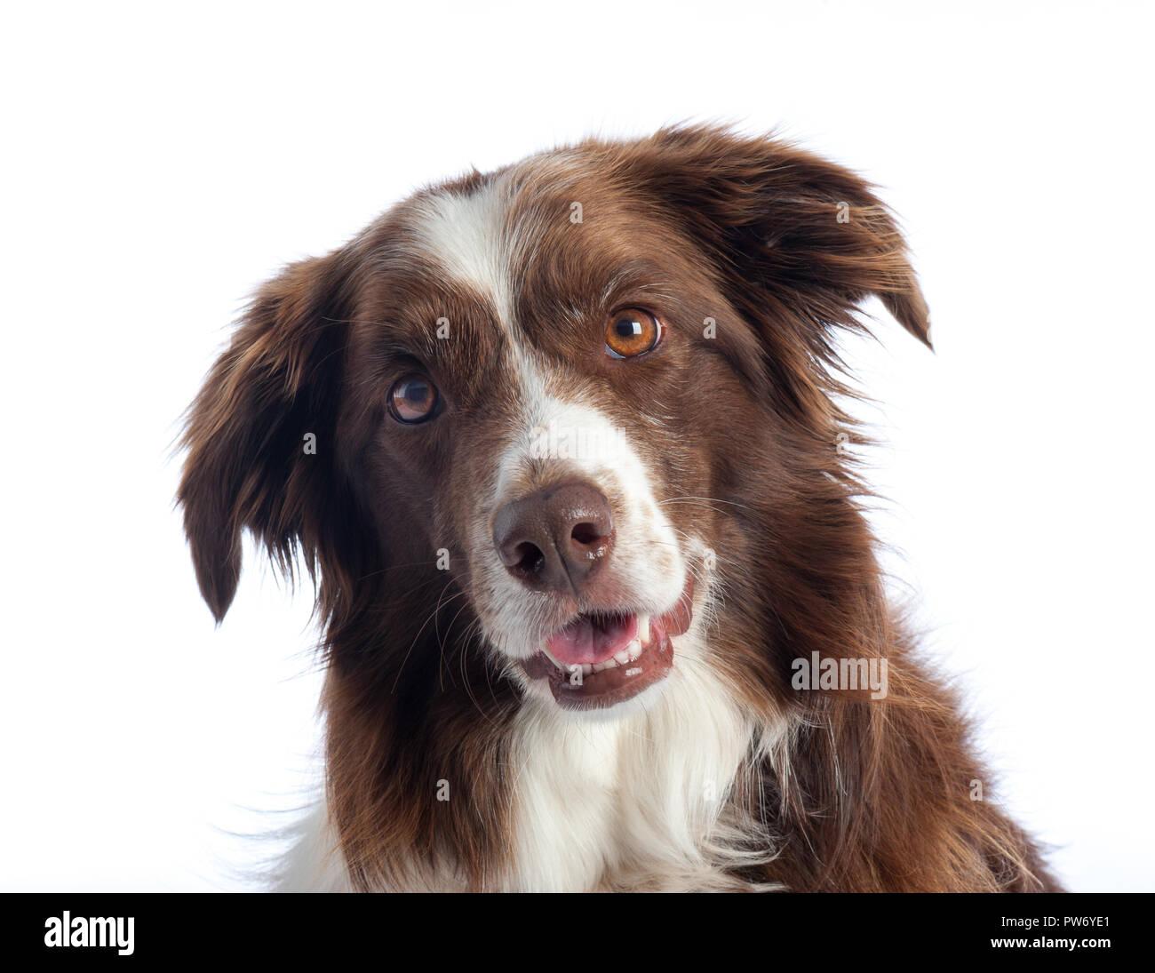Cross Breed Dog portrait with white studio background - Stock Image