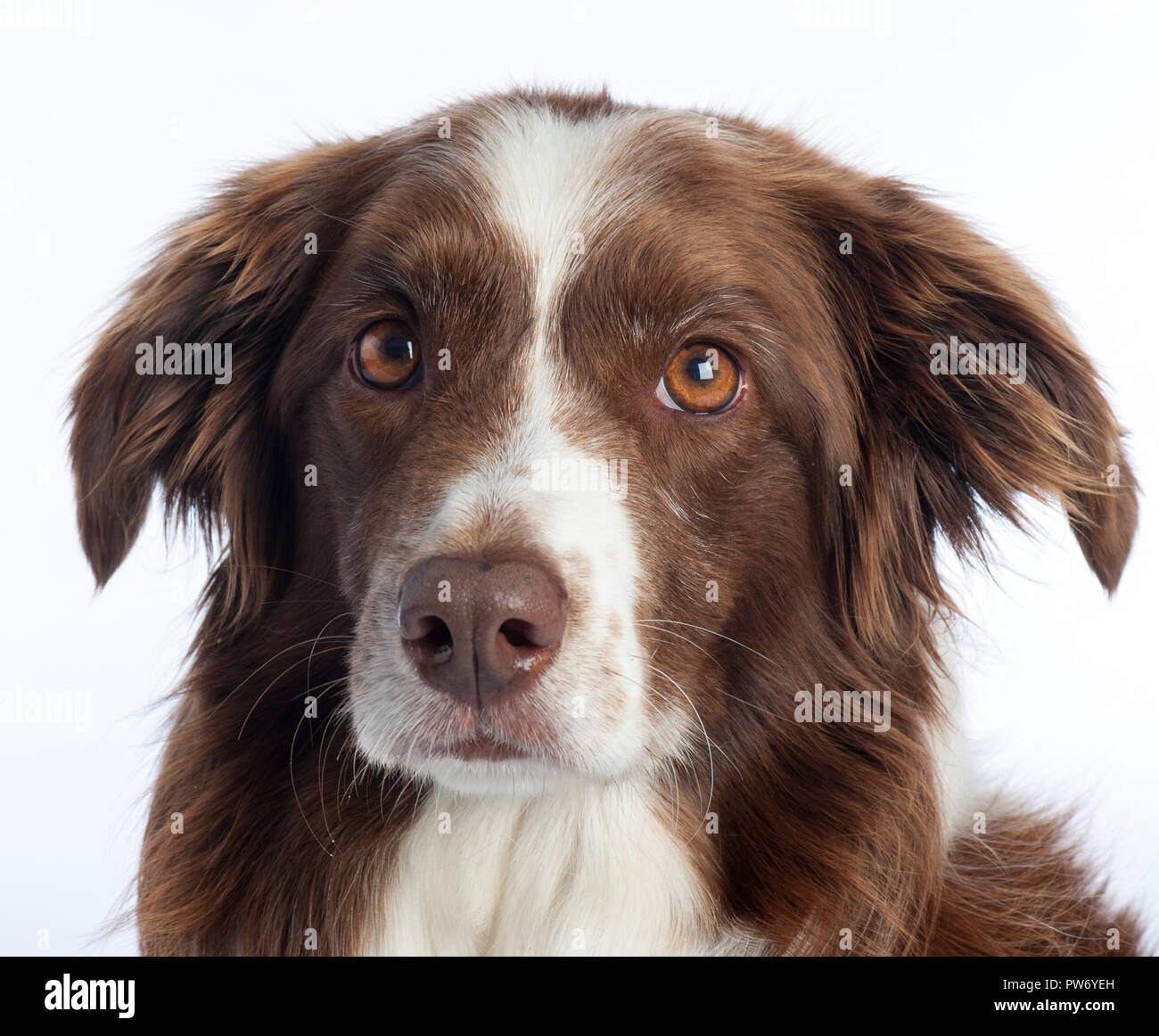 Cross Breed Dog portrait with white studio background - Stock Image