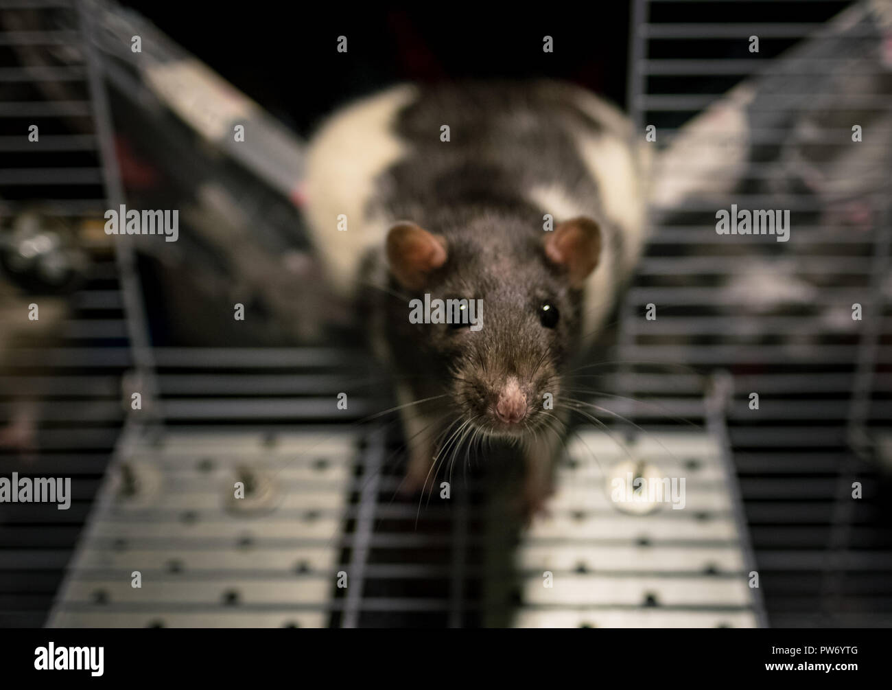 Pet rat leaving a cage and looking at the owner - Stock Image
