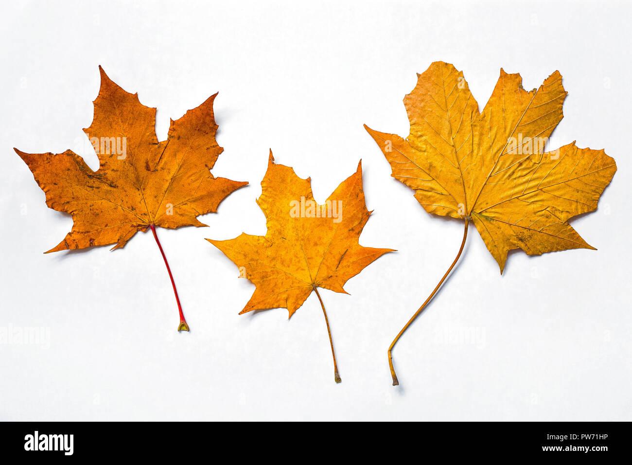 Autumn Leaves on white background Stock Photo