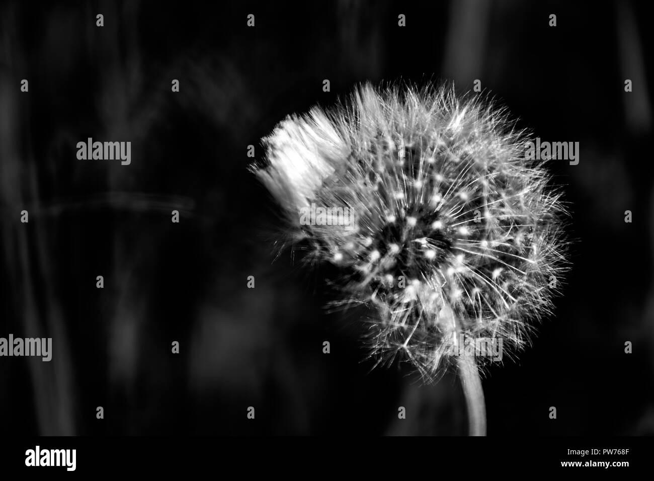 dandelion macro contrastly growing on spring meadow - Stock Image