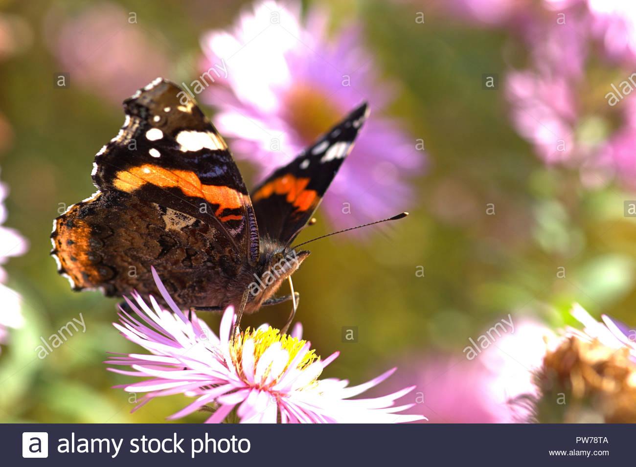 Ein Admiral (Vanessa atalanta, Syn.: Pyrameis atalanta), ein Schmetterling aus der Familie der Edelfalter (Nymphalidae) auf der Blüte einer Aster. Stock Photo