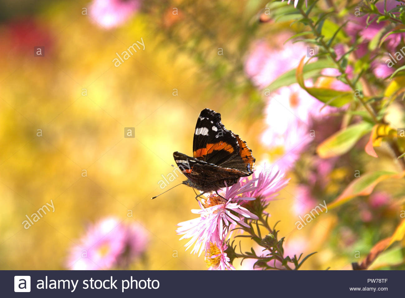 Ein Admiral (Vanessa atalanta, Syn.: Pyrameis atalanta), ein Schmetterling aus der Familie der Edelfalter (Nymphalidae) auf der Blüte einer Aster. - Stock Image