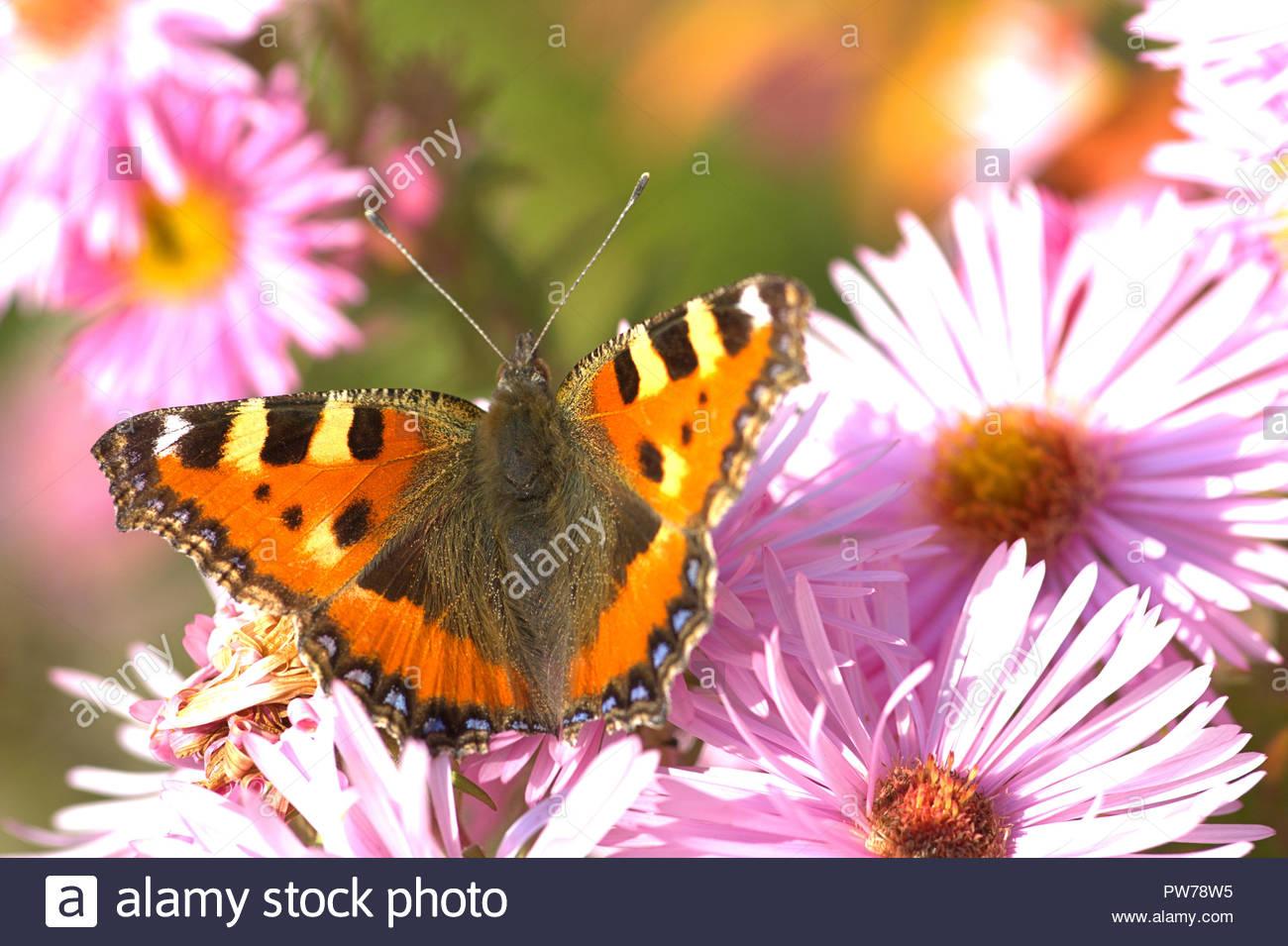 Ein Kleiner Fuchs (Aglais urticae, Syn.: Nymphalis urticae), ein Schmetterling aus der Familie der Edelfalter (Nymphalidae) auf der Blüte einer Aster. - Stock Image