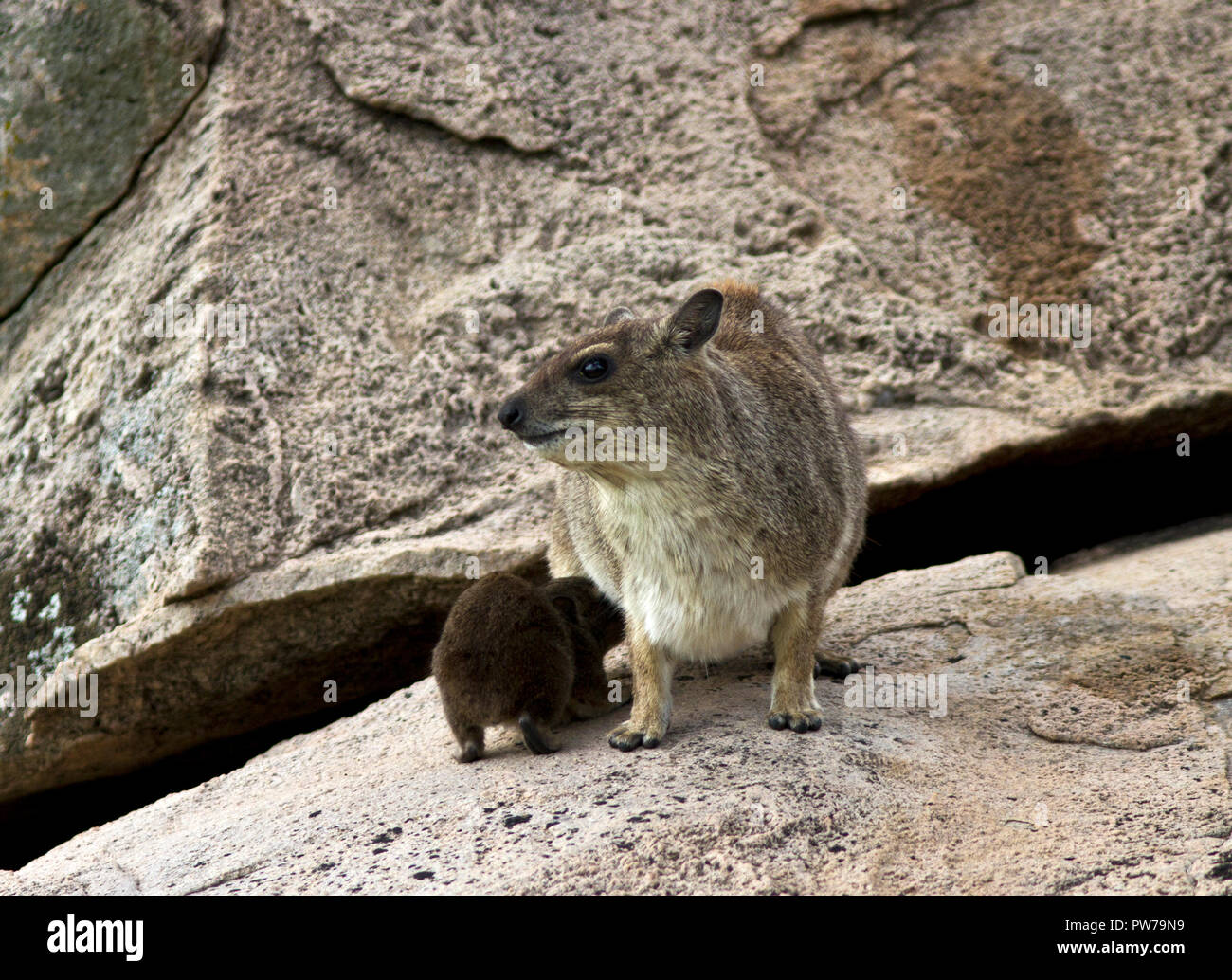 The Hyrax has two pairs of mammary glands and like their relative, the elephant, they have a pectoral pair. - Stock Image