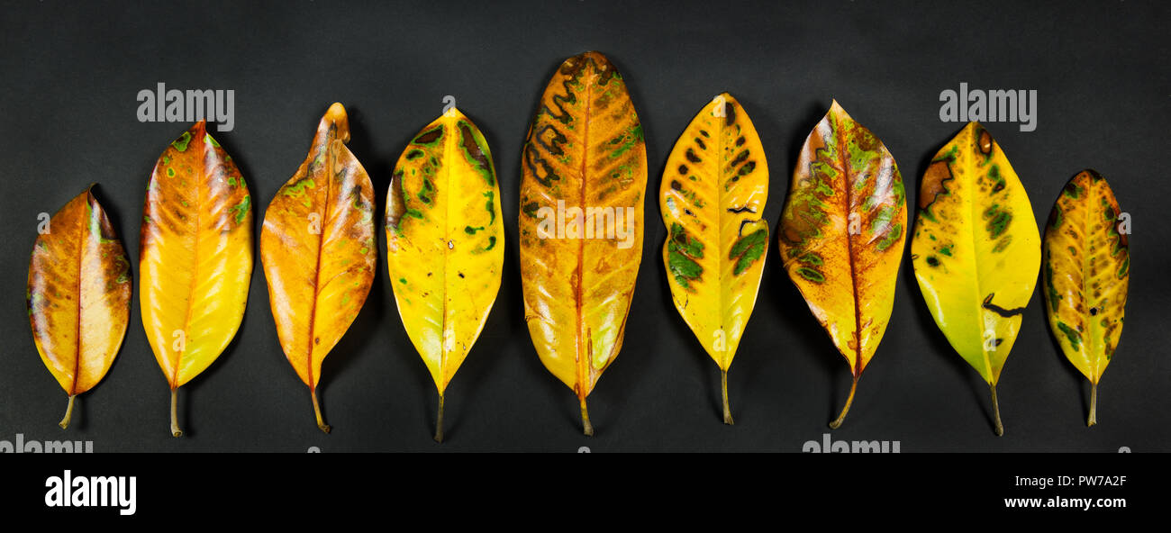 Leaves shed from southern magnolia tree (Magnolia grandiflora) in early spring. Like many other deciduous evergreens, this species does not shed leave - Stock Image