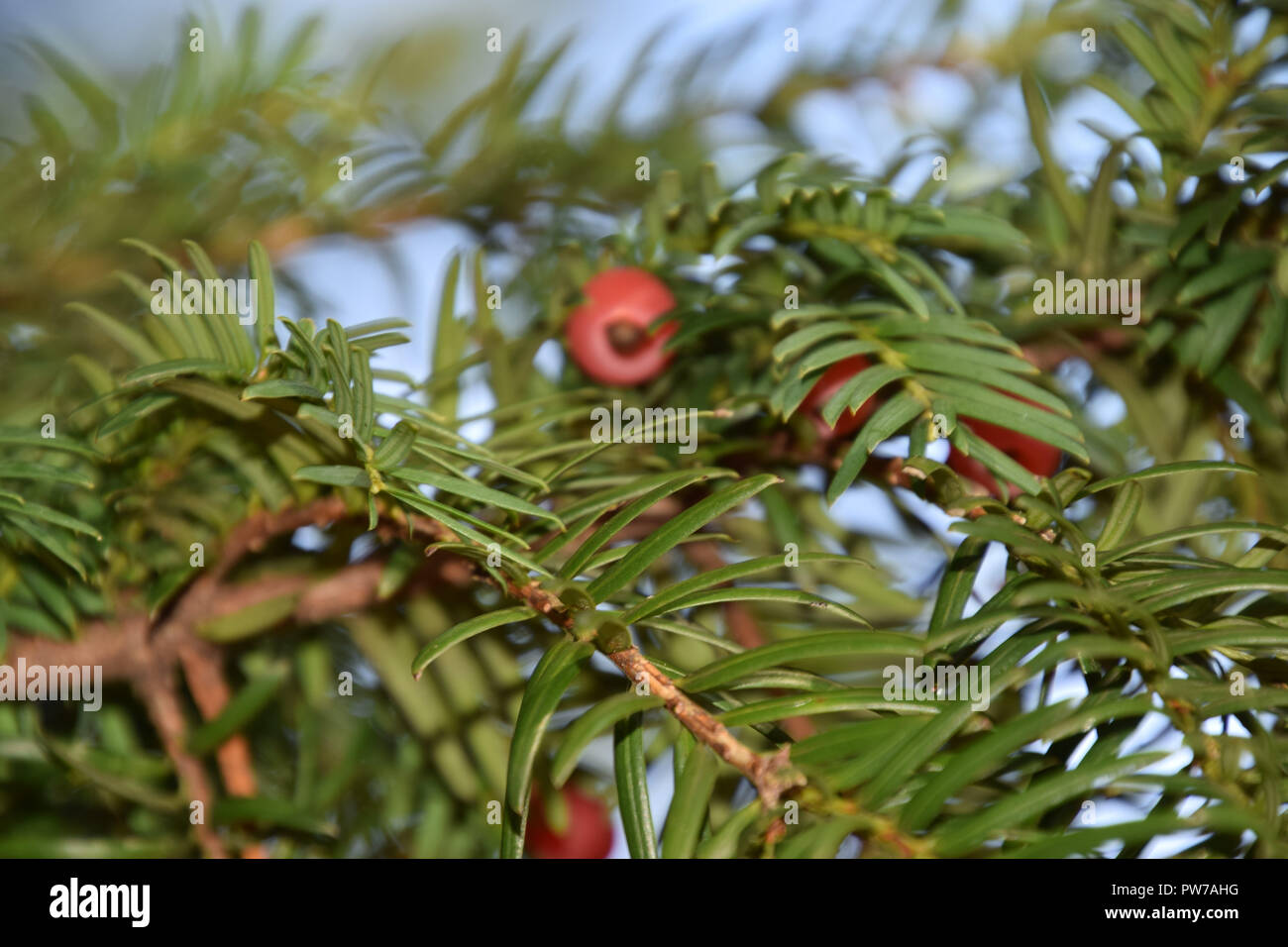 taxus baccata tree with spirally arranged mature red cones, european yew in autumn - Stock Image